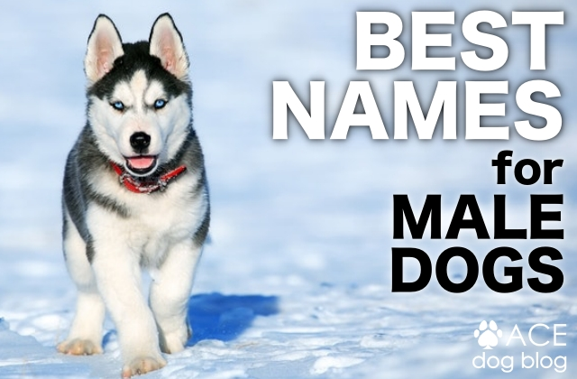 Best Dog Names For A Male Pupper Ace Dog Blog